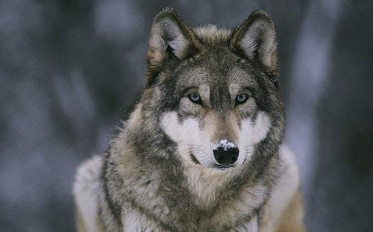 Wild Animal Wolf Wallpapers Hd 51074 Wallpaper: Kurt, Kurt Türleri Ve Özellikleri